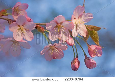 closeup of rosy cherry blossoms with soft blurry background of a cherry tree