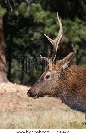 Profile portrait of a bull elk eating grass in a pasture proudly displaying his rack of antlers. poster