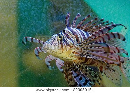 Close up picture of marine animal, Lionfishes or Firefishes or Butterfly-cods.