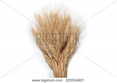 Sheaf of yellow wheat spikelets on the white background.