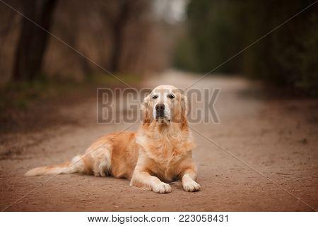 dog breed Golden Retriever lays on a walk portrait