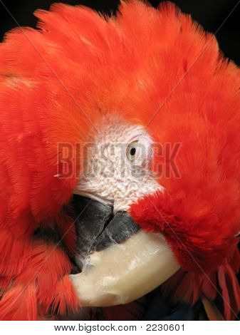 Red And Gold Macaw