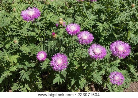 Flowerbed with pink flowers of whitewash cornflower