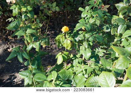 Neglected yellow rose bush in the garden