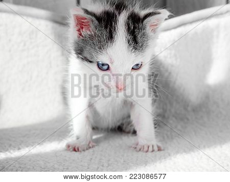 A cute little kitten looks on something frown. Cute little kitty on a white carpet evil look.
