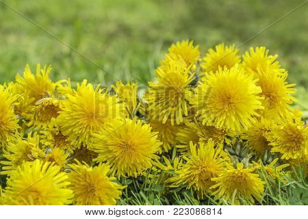 Many flowers of dandelions lying in the grass