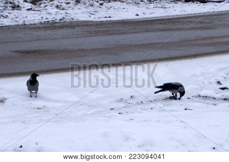two ravens on the road share a meal