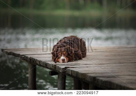 The Australian Shepherd By The Lake