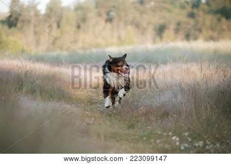 Australian Shepherd Running On The Road. The Dog Is Moving In The High Grass