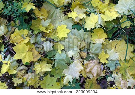 the natural backdrop of piles of old withered maple leaves fell in the fall