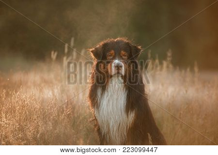 The Australian Shepherd In The Grass. The Dog At Sunset. Pet Outdoors