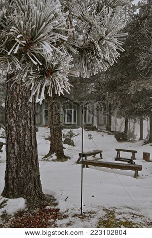 Hoar frost on the needles of an evergreen located in front of  campfire benches and cabin in the background