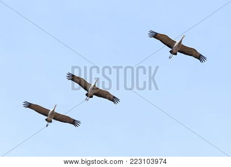A Trio of Sandhill Cranes Soars in a Pale Blue Sky