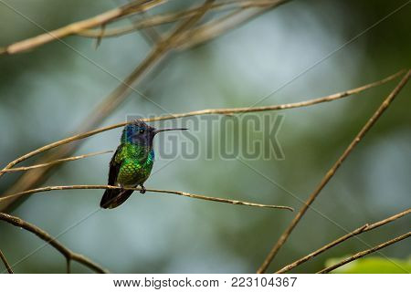 Very colorful shining green hummingbird Chrysuronia oenone Golden-tailed Sapphire with violet head and rufoust tail perched on diagonal twig. Blurred green tropical plants in background.