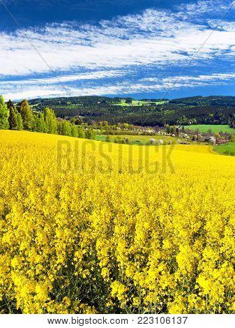 Field of rapeseed.