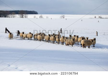 Flock of sheep in winter. Sheep in the snow