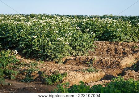 Potato flowers blooming in the field. Field with flourishing potato plants (Solanum tuberosum). Agricultural field of potato plant.
