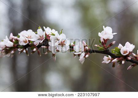 Spring tree branch white flowers macro view. soft focus Nanking cherry, Prunus tomentosa. deciduous shrub macro view photo.