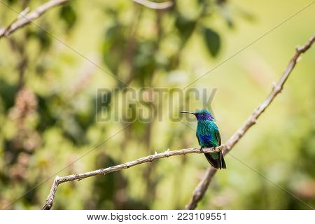Green and blue hummingbird Sparkling Violetear flying next to beautiful yelow flower. Bird from Ecuador tropic mountain forest. Wildlife scene from nature
