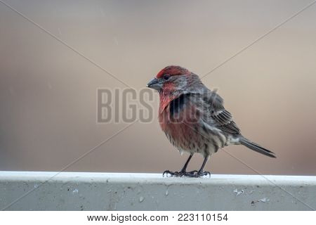 Adult Male House Finch, carpodacus mexicanus, perched on a back yard fence.