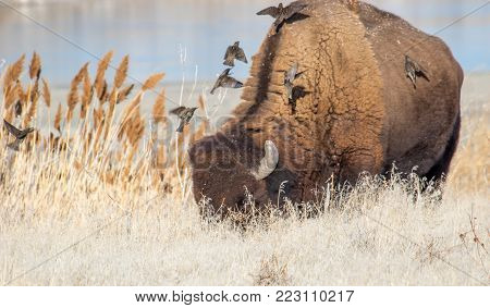 Starlings fly to the back of a wild buffalo to groom it of ticks and fleas. Unusual symbiotic relationship.
