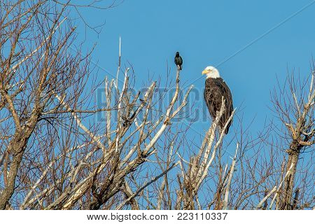 Beautiful bald eagle perched on a dead tree with a starling looking on and a blue sky in the background.