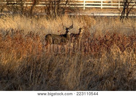 Buck and doe mule deer in a meadow in the autumn