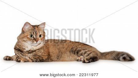 Big Tabby Cat With Different Eyes