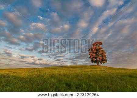 Solitary maple in autumn colors in the Luzicke Mountains, Czech Republik
