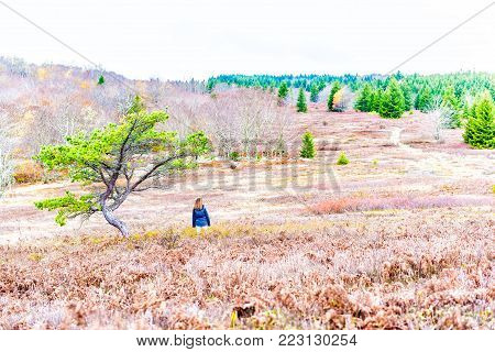 Autumn lush red foliage landscape with one single tree with colorful open vast meadow, in Dolly Sods, West Virginia, young woman standing by in cold jacket wind