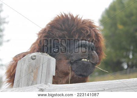 The llama (Lama glama) is a domesticated south american camelid.