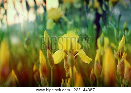 beautiful yellow iris in nature . In the park in nature. yellow spring flowers in a garden. iris flower