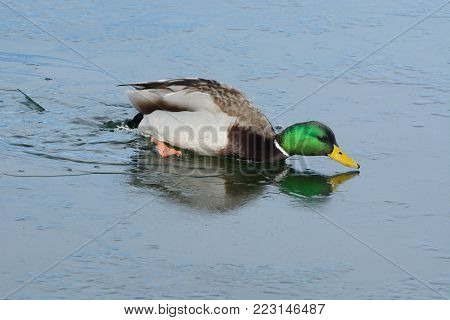 Mallard duck drake trying to swim in icy water in winter lake