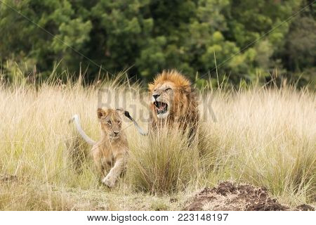 Lions in the Masai Mara. Father and cub emerging from the long grass.