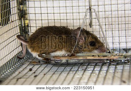 A side view of a miserably unhappy brown house mouse or Mus muscuous, trapped in a metal, no kill mouse trap or cage.