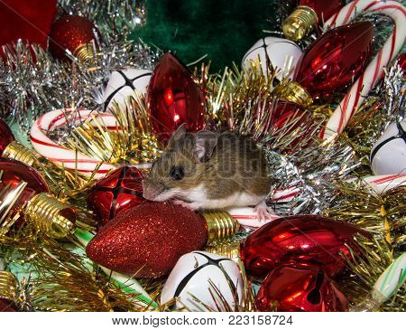 Side view of a brown house mouse, Mus musculus, in the middle of a pile of Christmas ornaments.  Bulbs, garland, bells,candy canes and stockings in green, red, silver, gold, and white.