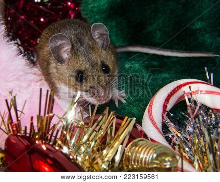 A brown house mouse, Mus musculus, sitting in the middle of a pile of Christmas decorations.  Gold, silver, and red garland, red bulbs, stockings and candy canes surround the rodent.  This is a face on shot with bulging black eyes, pink ears and tail.