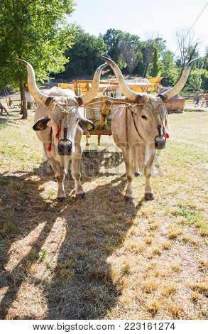 Pair of Oxen attached to a wooden cart.