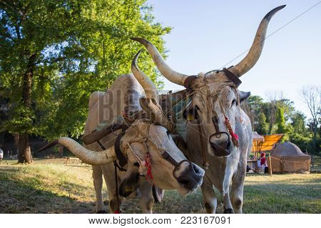 Couple of oxen attached to an old wooden farm cart.