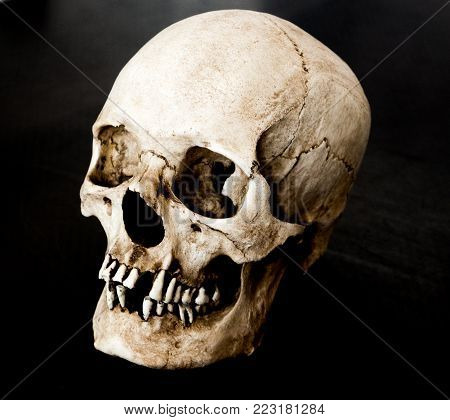 Fiberglass human skull looking at a 45 degree angle with a black background.