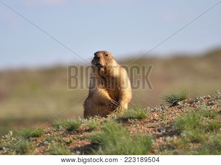 The amusing singing groundhog. Cute and ridiculous.