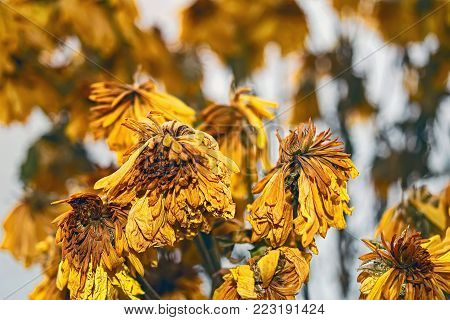Withered bouquet of yellow chrysanthemums on the blurred background of the frozen window