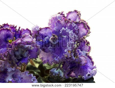 Collection African violets. - Large, very beautiful bluish-lilac flowers with voluminous  greenish-brown wavy corrugated border and unusually bright venous pattern along the petals. Dark wavy leaves.  Russian selection