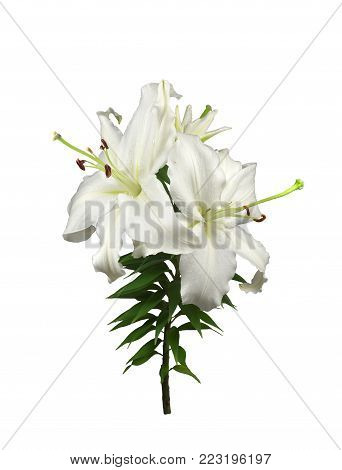 Flowering plant of white garden fragrant lily with two huge flowers with very long pestles and opening bud. Isolated on white background. Vertical frame