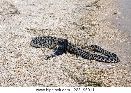 Dice snake (Natrix tessellata) eating a round goby (Neogobius melanostomus) in coastal zone of Caspian Sea, spring season, Kazakhstan.