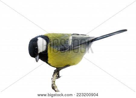 bird titmouse sitting on a branch in the Park on a white isolated background