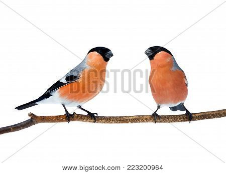 a couple of bright red birds bullfinches sitting on the branch isolated on white background