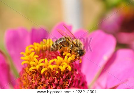 Honey bee collecting nectar on flower. Honey bee (Apis mellifera) pollinating flowers in garden