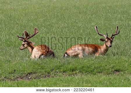 Deer, a ruminant mammal part of the family of Cervidae