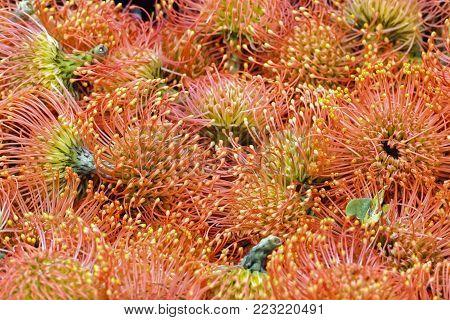Pincushion Proteas orange, Leucospermum cordifolium, South Africa